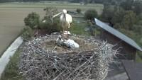 Hesselhurst - Cigognes blanches