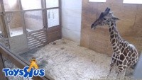 Harpursville - Animal Adventure Park - Giraffe