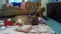 Brewster - Pokój z jeleniem