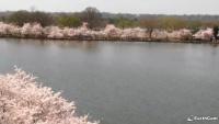 Vašingtonas - National Cherry Blossom Festival