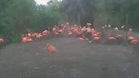 Chester Zoo - flamingi