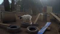 Hoodsport - WeedPatch Farms - Goats