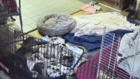 Ipswich - Service Dog Project - szczeniaki