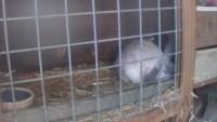 Leusden - Rabbits, chickens