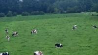 Leusden - Cows