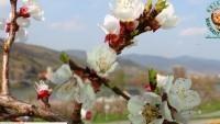 Spitz an der Donau - Wachauer Marille - Apricot