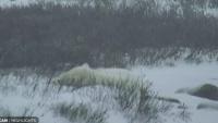 Churchill - niedźwiedzie polarne