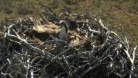 Ranua - Osprey