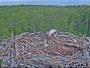 Käsmu - Osprey nest